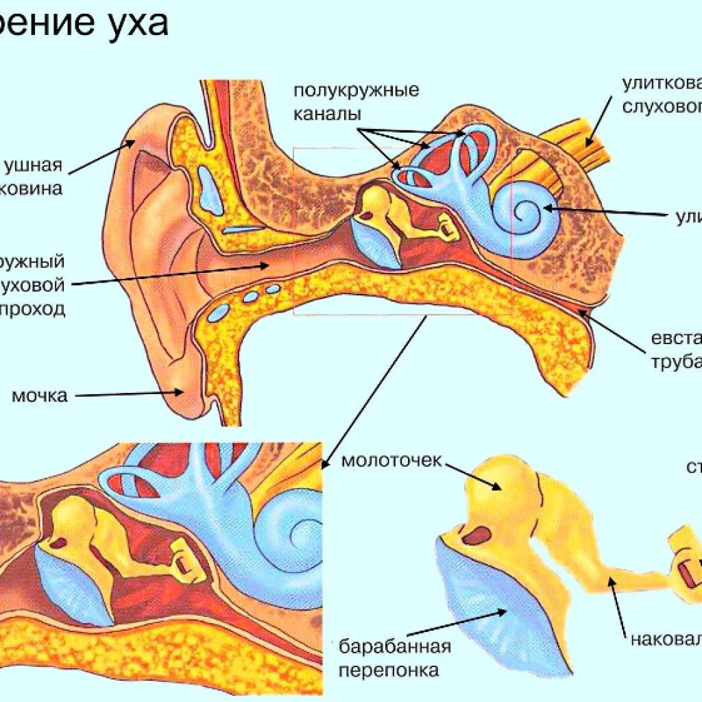 Строение уха горло нос человека схема